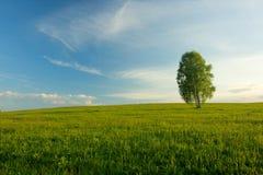 Einsame Birke auf einem Gebiet. Lizenzfreies Stockbild