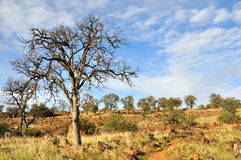 Einsame Eiche im Kalifornien-Chaparral-Land lizenzfreies stockfoto