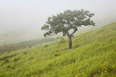 Einsame Eiche im Nebel auf Flanke des Hügels Lizenzfreies Stockfoto