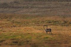 Einsame Elche auf dem Gebiet Stockfotografie