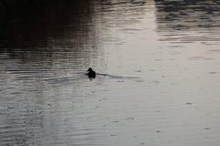 Einsame Ente Stockfotografie