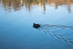 Einsame Entenschwimmen im Fluss Lizenzfreies Stockbild
