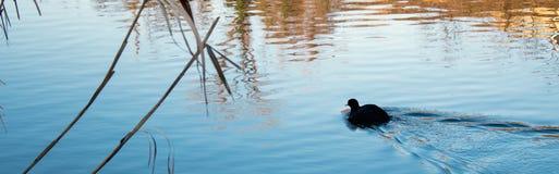 Einsame Entenschwimmen im Fluss und in den Schilfen Stockfotos
