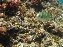 Einsame Fische Lizenzfreies Stockbild