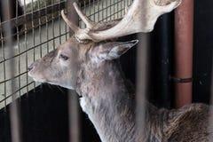 Einsame Gazelle in einem Käfig stockfotos