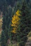 Einsame gelbe Birke in den Kiefern Stockfoto