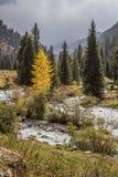 Einsame gelbe Birke in den Kiefern auf Flussufer Lizenzfreie Stockfotos