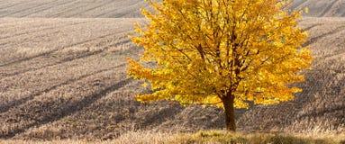 Einsame Gold-farbige Kalkmitte des Feldes Stockfoto