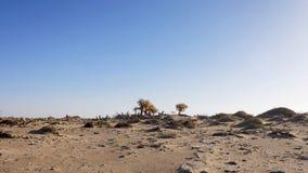 Einsame goldene Populus euphratica Bäume in der toten Baumwaldwüste auf dem Hintergrund des blauen Himmels, Ejina im Herbst stockfotos