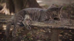 Einsame graue Katze mit den langen weißen Bärten und traurigem Blick ist Lügen auf der Bank Flaumige Katze Katzenporträt, keine L stock footage