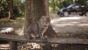 Einsame graue Katze mit den langen weißen Bärten und traurigem Blick sitzt auf der Bank Flaumige Katze Katzenporträt, keine Leute stock footage