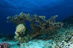Einsame harte Koralle über dem Sand lizenzfreie stockfotos