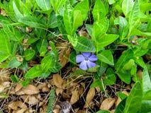 Einsame helle blaue schöne Vincablume unter jungen grünen Stämmen im Vorfrühling Stockbild