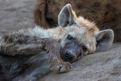 Einsame junge Hyäne, die traurig schaut stockbilder