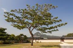 Einsame Kiefer im Gyeongbokgungs-Palast Seoul, Korea Lizenzfreies Stockbild