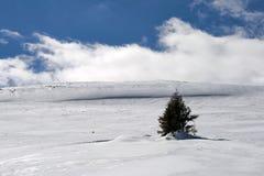 Einsame Kiefer im Schnee Stockbild