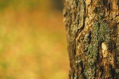 Einsame Kieferkruste im Wald Stockbilder