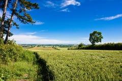 Einsame Kiefern auf Hügel Lizenzfreies Stockfoto