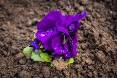 Einsame kleine violette Blume mit Wassertropfen, nach Regen Stockfotografie