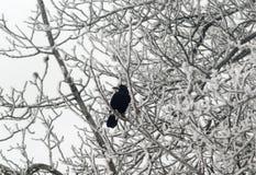 Einsame Krähe auf Niederlassung Lizenzfreies Stockbild