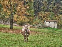 Einsame Kuh in der Herbst-Wiese Stockfotos