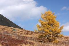 Einsame Lärche auf den Steigungen des Bergs stockfoto