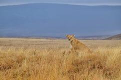 Einsame Löwin Stockbilder