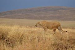 Einsame Löwin 2 Stockbilder