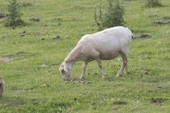 Einsame latxa Schafe Lizenzfreie Stockbilder