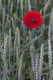 Einsame Mohnblume Stockbilder