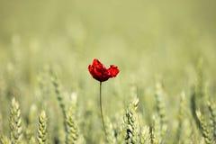 Einsame Mohnblume auf dem Weizengebiet Stockfoto