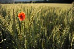Einsame Mohnblume in einer Wheatfieldansicht von weit Lizenzfreies Stockfoto