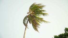 Einsame Palme, die in Wind gegen hellen Himmel sich bewegt stock video footage