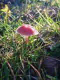 Einsame Pilze Stockfotografie