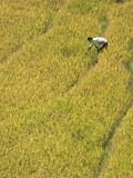 Einsame Reis-Ernte Lizenzfreie Stockfotos
