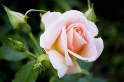 Einsame Rosarosen-Blumennahaufnahme Stockfoto