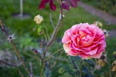 Einsame Rose Lizenzfreies Stockfoto