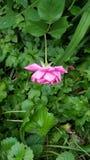 Einsame Rose stockfotos