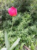 Einsame rote Tulpe Stockbild