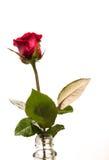Einsame schöne blühende Rotrose in der Flasche lokalisiert auf weißem Hintergrund Stockbild