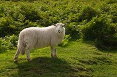 Einsame Schafe Stockbild