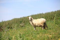 Einsame Schafe, die auf Wiesen stehen Lizenzfreie Stockfotos