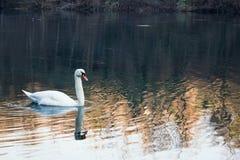 Einsame Schwan-Schwimmen während des Winters Lizenzfreies Stockbild