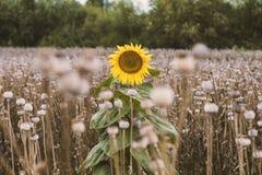 Einsame Sonnenblume Stockbilder