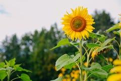 Einsame Sonnenblume auf dem Bauernhofpaket Landwirtschaft comcept Stockfotos