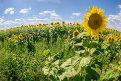 Einsame stehende Sonnenblume gegen ein Feld von Sonnenblumen stockbild