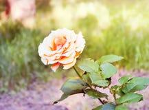Einsame Teerose der rosa Farbe im Holz Lizenzfreie Stockfotografie