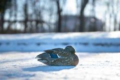 Einsame weibliche Ente, die im Sonnenunterganglicht eines kalten Wintertages aufwärmt stockfotografie