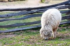 Einsame weiden lassende Schafe Lizenzfreie Stockbilder