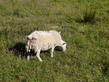 Einsame weiden lassende Schafe Stockfoto
